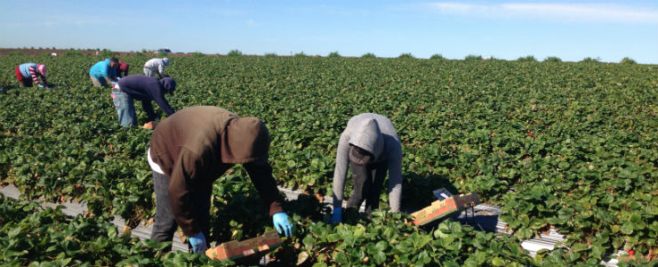 Strawberry Pickers, Central Coast, CA.  Photo by Catherine S. Ramírez.